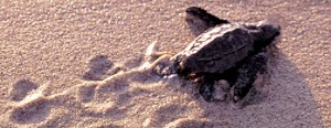 A Sea Turtle Hatchling