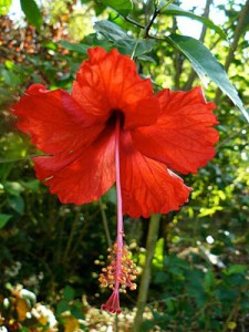 A red hibiscus glows in the Costa Rica sun. Photo by Mary Nelen